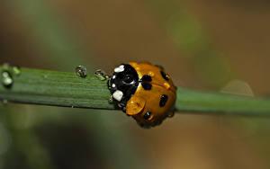 Bilder Hautnah Marienkäfer Insekten Tropfen Unscharfer Hintergrund ein Tier