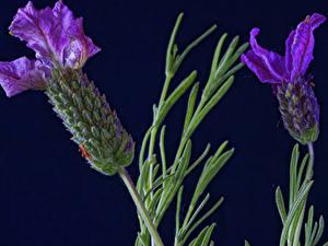 Hintergrundbilder Großansicht Lavendel 2 Violett