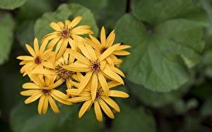 Fonds d'écran En gros plan Arrière-plan flou Jaune Ligularia fleur