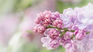 Hintergrundbilder Hautnah Syringa Rosa Farbe Blüte
