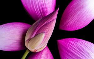 Fotos Nahaufnahme Lotosblume Rosa Farbe Blumen