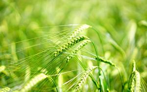 Wallpaper Closeup Macro photography Blurred background Spike Barley Nature