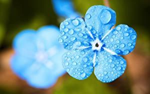 Bilder Nahaufnahme Makrofotografie Vergissmeinnicht Bokeh Hellblau Blüte Blumen