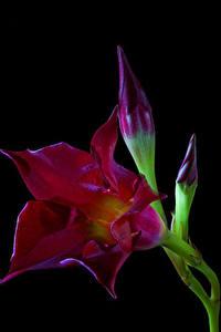 Bilder Nahaufnahme Schwarzer Hintergrund Burgunder Farbe Knospe Mandevilla sanderi Brazilian jasmine Blüte