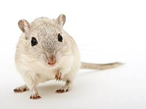 Photo Closeup Mice Rodents Gray background Glance Animals