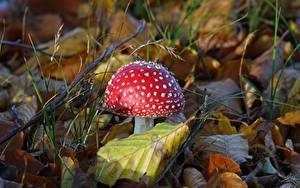 Bilder Nahaufnahme Pilze Natur Wulstlinge Blattwerk Rot