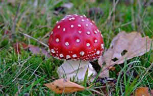 Fotos Hautnah Pilze Natur Wulstlinge Gras Rot