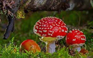 Fotos Hautnah Pilze Natur Wulstlinge Laubmoose