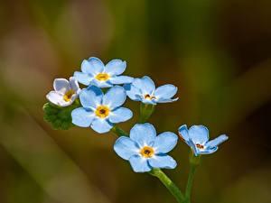 Bakgrundsbilder på skrivbordet Närbild Förgätmigejsläktet Bokeh Ljusblå blomma
