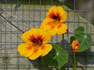 Hintergrundbilder Großansicht Gelb Nasturtium Blumen