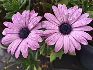 Fotos Nahaufnahme Kapkörbchen Zwei Violett Blüte Blumen