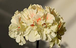 Fonds d'écran En gros plan Pelargonium Fleurs
