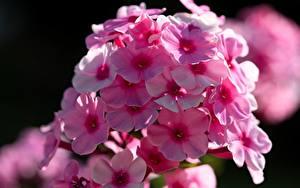 桌面壁纸,,特寫,天蓝绣球,散景,粉红色,花卉
