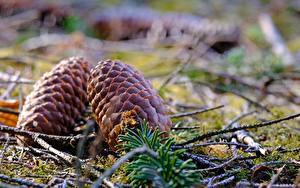 Hintergrundbilder Großansicht Zapfen Bokeh Natur