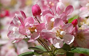Hintergrundbilder Hautnah Rosa Farbe Tropfen Japanische Kirschblüte Blüte