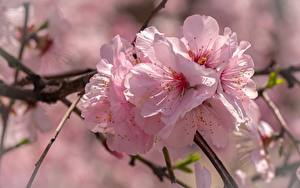 Bilder Großansicht Rosa Farbe Japanische Kirschblüte Blumen