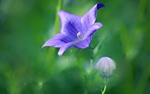 Bilder Nahaufnahme Unscharfer Hintergrund Knospe Violett Glocke Platycodon, Chinese bellflower Blumen