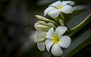 Tapety na pulpit Zbliżenie Plumeria Rozmazane tło Biały Kwiaty