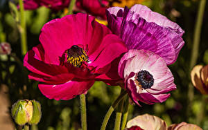 Tapety na pulpit Z bliska Maki Kwiaty