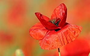 Hintergrundbilder Hautnah Mohnblumen Unscharfer Hintergrund Rot Blüte