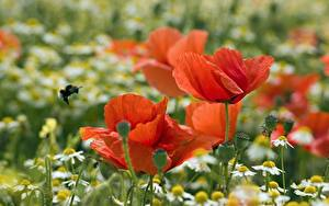 Hintergrundbilder Großansicht Mohn Kamillen Rot Bokeh Blüte