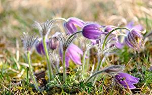Image Closeup Pasque flower Blurred background Violet flower