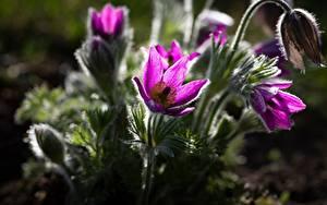 Bilder Hautnah Kuhschellen Violett Bokeh Blüte