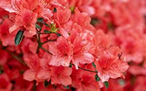 Fotos Großansicht Rhododendren Rosa Farbe Japanese Azalea Blumen