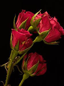 Hintergrundbilder Nahaufnahme Rose Schwarzer Hintergrund Rot Knospe Blumen