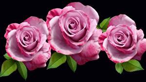 Fotos Großansicht Rosen Schwarzer Hintergrund Drei 3 Rosa Farbe Blumen