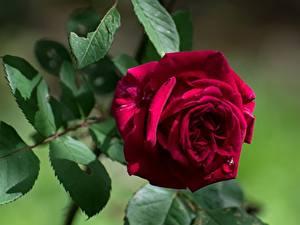 デスクトップの壁紙、、クローズアップ、バラ、ボケ写真、木の葉、赤、花
