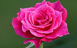 Bilder Hautnah Rose Rosa Farbe Blumen