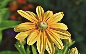 Tapety na pulpit Zbliżenie Rozmazane tło Żółty Rudbeckia Kwiaty