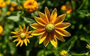 Bilder Großansicht Bokeh Gelb Rudbeckia Blüte