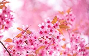 Bilder Großansicht Japanische Kirschblüte Rosa Farbe Ast Blüte