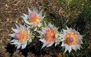 Hintergrundbilder Nahaufnahme Bokeh Serruria florida Blumen
