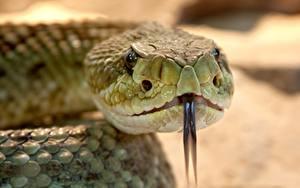 Hintergrundbilder Hautnah Schlangen Bokeh Kopf Zunge Tiere