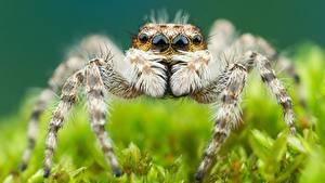 Bilder Hautnah Webspinnen Springspinnen ein Tier