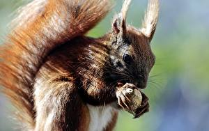 Picture Closeup Squirrels Animals