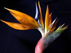 Images Closeup Black background Strelitzia Flowers