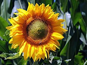 Fotos Großansicht Sonnenblumen Blumen