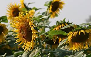 Fotos Hautnah Sonnenblumen Unscharfer Hintergrund Gelb Blumen