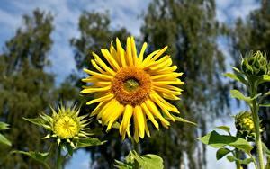 桌面壁纸,,特寫,向日葵,散景,黄色,花卉