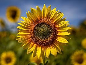 Hintergrundbilder Großansicht Sonnenblumen Bokeh Gelb Blüte