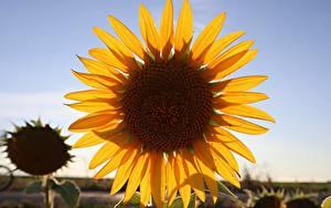 Bureaubladachtergronden Close-up Helianthus Bloemblaadjes Geel kleur Bloemen