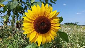 Desktop hintergrundbilder Nahaufnahme Sonnenblumen Gelb Blumen