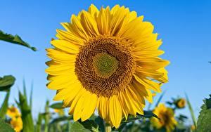 Fotos Nahaufnahme Sonnenblumen Gelb Blumen