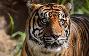 Hintergrundbilder Hautnah Tiger Kopf Starren ein Tier