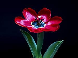 Bureaubladachtergronden Van dichtbij Tulp Zwarte achtergrond Rood bloem