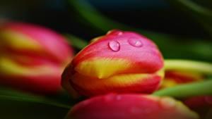 Hintergrundbilder Großansicht Tulpen Bokeh Tropfen Blumen